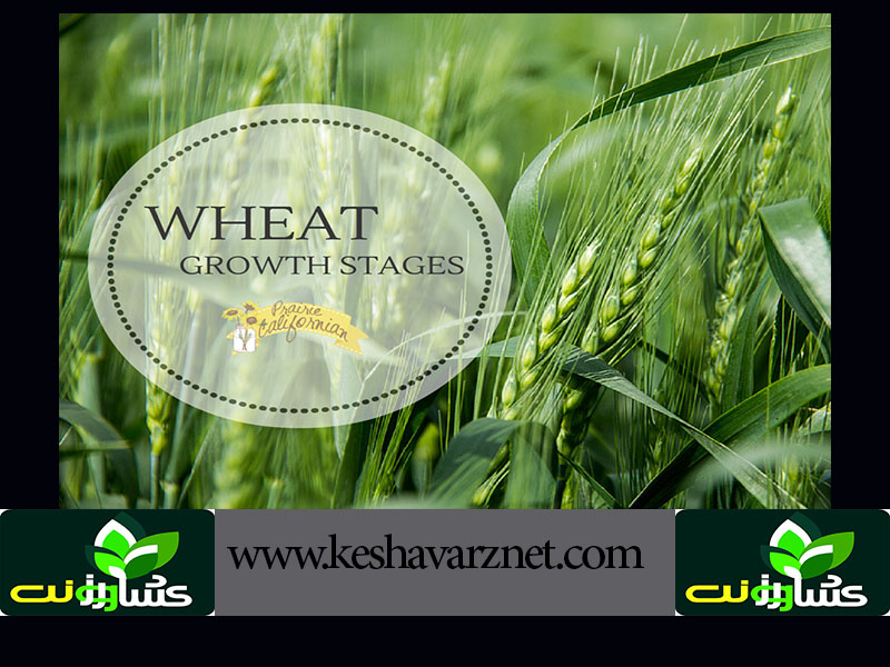 Wheat-Growth-Stages