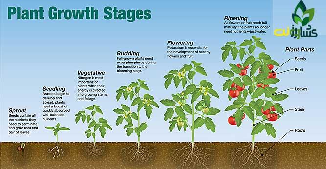 برنامه غذایی گوجه