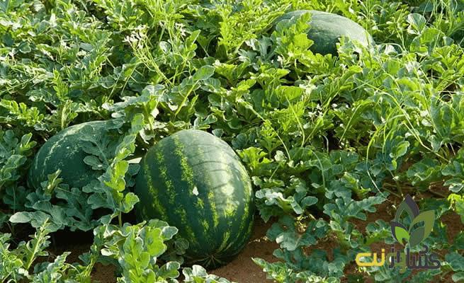 برنامه غذایی هندوانه