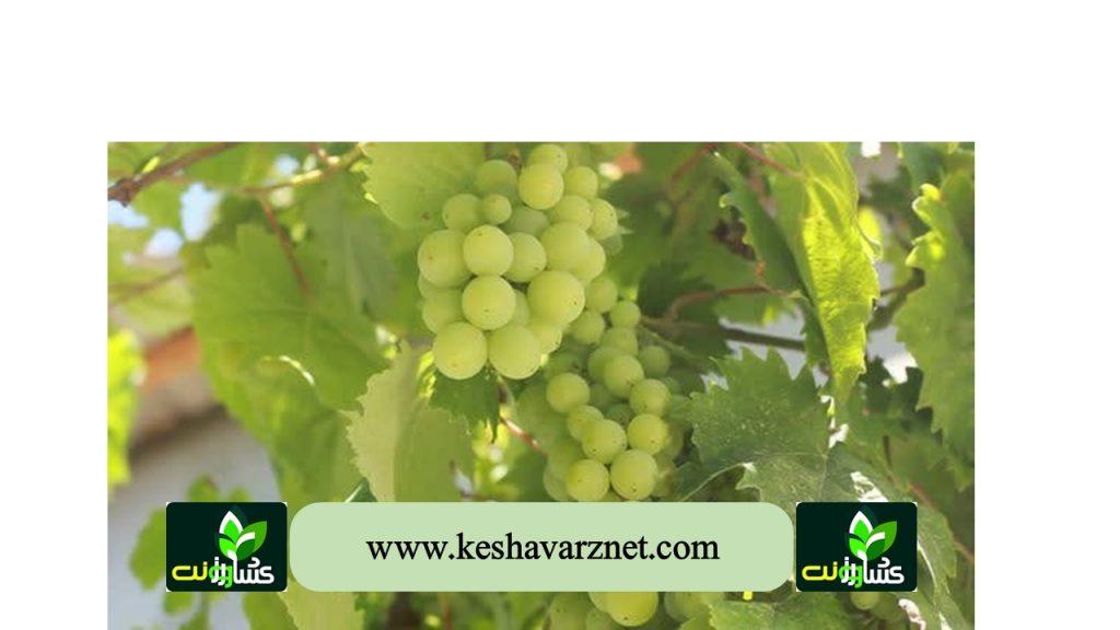رشد میوه انگور