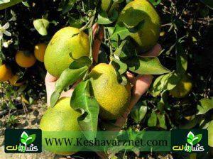 بیماری میوه سبز مرکبات