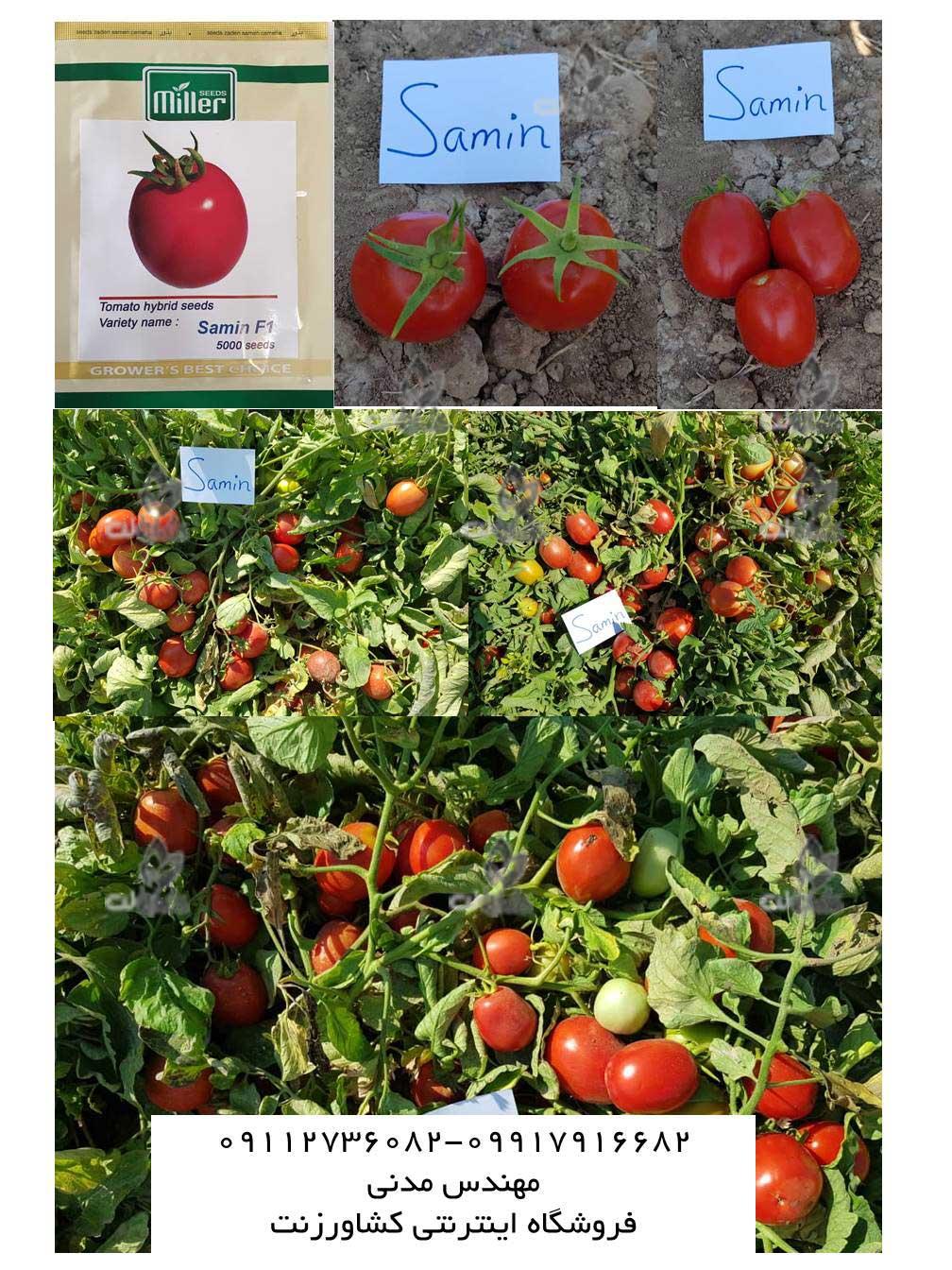 بذر گوجه ثمین