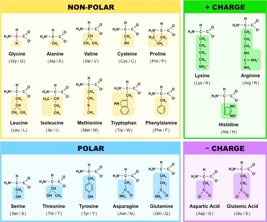 طبقه بندی اسیدهای امینه