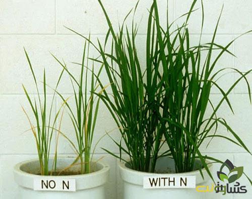 میزان مصرف ازت در برنج
