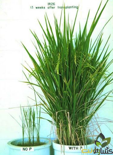 کمبود فسفر در برنج