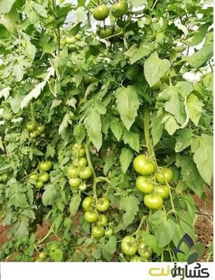 بذر-گوجه-گلخانه-ای-هدف-ترک