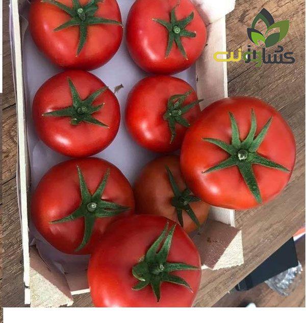 بذر-گوجه-گلخانه-ای-هدف