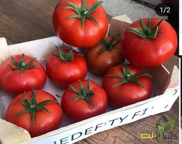 بذر-گوجه-گلخانه-ای