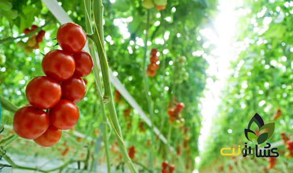 برداشت-گوجه-فرنگی