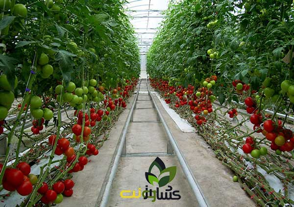 کاشت-گوجه-فرنگی-گلخانه-ای