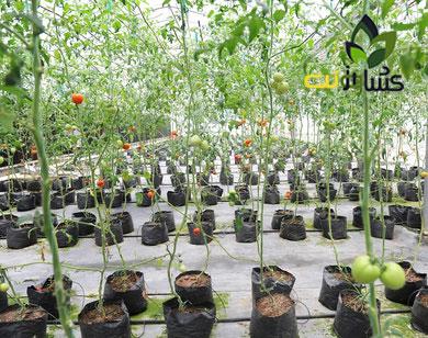 کشت-گوجه-فرنگی-در-گلدان