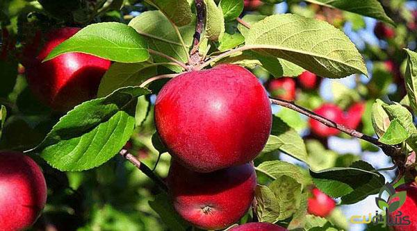 افزایش رنگ میوه