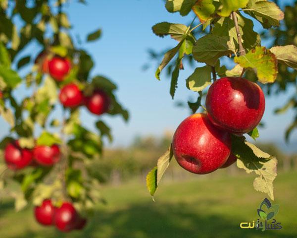 افزایش سایز میوه