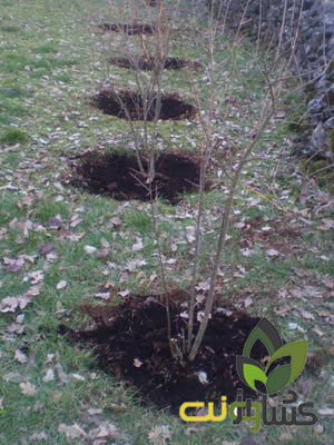 کود-درخت-انار