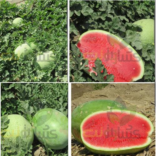 بذر هندوانه اورست