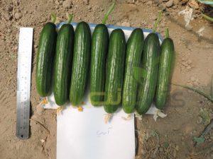 بذر-خیار-گلخانه-ارمین